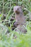 被结合的猫鼬是在美国钞票草的监视 免版税图库摄影