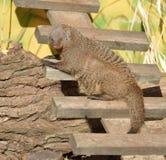 被结合的猫鼬短弹毛短弹毛 免版税库存照片
