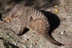 被结合的猫鼬(短弹毛短弹毛colonus) 库存照片