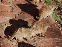 被结合的猫鼬 库存照片