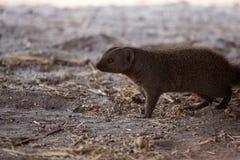 被结合的猫鼬- Chobe N P 博茨瓦纳,非洲 免版税库存照片