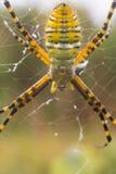被结合的花园蜘蛛 免版税库存照片