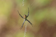 被结合的花园蜘蛛& x28; Argiope trifasciata& x29;在网的中心坐并且等待受害者 免版税图库摄影