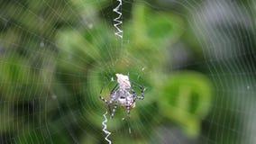 被结合的花园蜘蛛(Argiope trifasciata)攻击飞蛾并且包扎它 股票视频