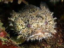 被结合的蟾鱼- Halophryne diemensis 库存图片