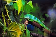 被结合的brachylophus fasciatus斐济鬣鳞蜥拉丁名字 库存图片
