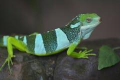 被结合的brachylophus fasciatus斐济鬣鳞蜥拉丁名字 免版税库存照片
