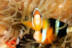 被结合的clownfish 库存照片