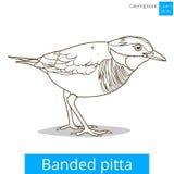 被结合的pitta鸟学会鸟彩图传染媒介 皇族释放例证