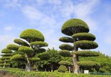 被整理的榕树 免版税库存图片