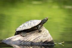 被绘的乌龟在一个晴天 免版税库存照片