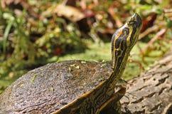 被绘的乌龟特写镜头  库存图片