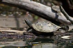 被绘的乌龟舒展 免版税图库摄影