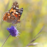被绘的夫人蝴蝶 免版税库存照片