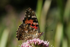 被绘的夫人Butterfly & x28; Vanessa cardui& x29; 库存图片