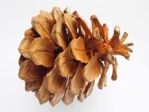 被绘的棕色颜色杉木锥体 免版税库存照片