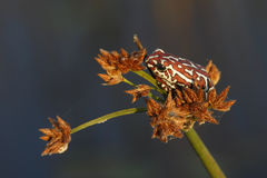 被绘的里德青蛙- Okavango三角洲-博茨瓦纳 免版税库存图片