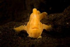 被绘的鳖鱼科之鱼- Antennarius pictus 免版税库存图片