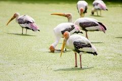 被绘的鹳鸟 免版税库存图片