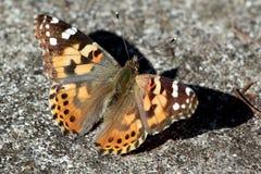 被绘的Butterfly夫人- Vanessa cardui 库存照片