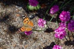 被绘的cardui夫人(Vanessa)蝴蝶 免版税库存图片