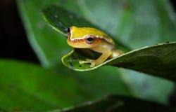 被绘的Treefrog 库存照片