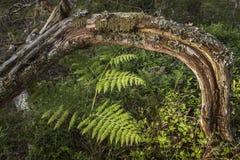 被阻碍的树和森林自然在苏格兰 图库摄影