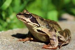 被仿造的棕色青蛙 免版税库存图片