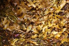 褐藻背景 库存照片