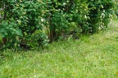 裁减春天草坪和新鲜开花的灌木绣线菊类的植物,春天摘要背景照片 库存图片
