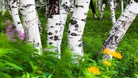 裂片桦树在蒙古的Nei 库存照片