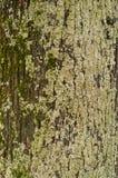 破裂的粗砺的树皮的纹理与绿色青苔的图形设计的 免版税库存照片