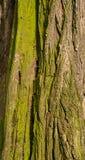 破裂的粗砺的树皮的纹理与绿色青苔的图形设计的 图库摄影