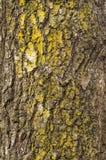 破裂的粗砺的树皮的纹理与绿色青苔的图形设计的 库存图片