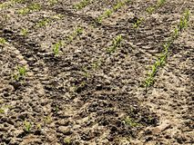破裂的黏土干燥地面与前朵绿色花的 干燥气候灾害自然泰国 库存图片