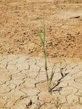 破裂的黏土干燥地面与前朵绿色花的 极端热的wheater 免版税图库摄影