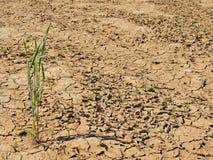 破裂的黏土干燥地面与前朵绿色花的 极端热的wheater 库存照片