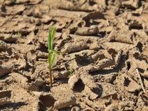 破裂的黏土干燥地面与前朵绿色花的 极端热的wheater 库存图片