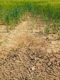 破裂的黏土干燥地面与前朵绿色花的 极端热的wheater 图库摄影