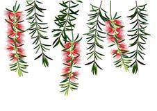 装瓶bruch花或红色callisemon花在白色背景 库存照片