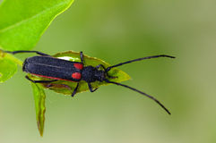 装甲的昆虫 图库摄影
