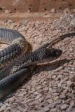 装管嘴的眼镜蛇眼镜蛇annulifera,也称-被结合的埃及眼镜蛇,高度有毒种类 库存图片
