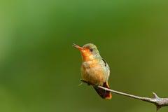 装缨球五颜六色的蜂鸟的蜂鸟、女性与橙色冠的和衣领在绿色和紫罗兰色花栖所,特立尼达 免版税库存照片