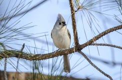 装缨球北美山雀歌曲鸟在杉树,雅典,乔治亚,美国栖息 免版税库存照片