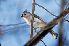 装缨球北美山雀,树,被栖息 免版税库存图片
