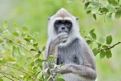装缨球灰色叶猴Semnopithecus priam特写镜头画象  库存照片