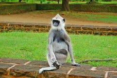 装缨球灰色叶猴 免版税库存图片