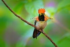 装缨球蜂鸟、五颜六色的蜂鸟与橙色冠和衣领在绿色和紫罗兰色花栖所 在pi旁边的鸟飞行 库存照片