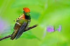 装缨球蜂鸟、五颜六色的蜂鸟与橙色冠和衣领在绿色和紫罗兰色花栖所,特立尼达 免版税图库摄影
