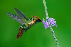 装缨球蜂鸟、五颜六色的蜂鸟与橙色冠和衣领在绿色和紫罗兰色花栖所, 免版税图库摄影
